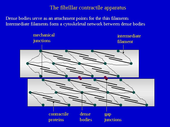 intermediate filament contractile proteins dense bodiesmechanical junctions gap junctions. The fibrillar contractile apparatus Dense bodies serve
