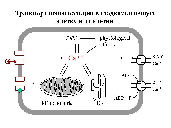 Cellular calcium transport 3 Na + Ca +++Ca + + 2 H + ADP + P