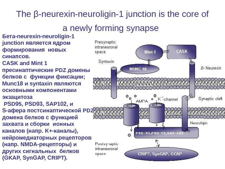 The β-neurexin-neuroligin-1 junction is the core of a newly forming synapse  Бета-neurexin-neuroligin-1 junction является ядром