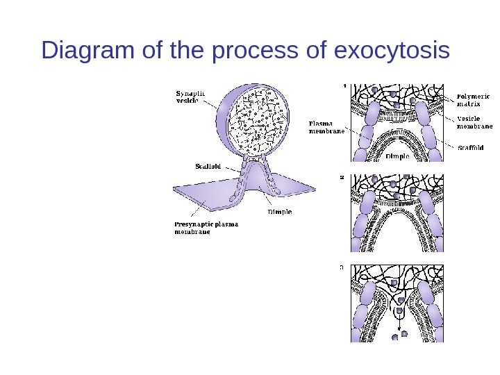 Diagram of the process of exocytosis