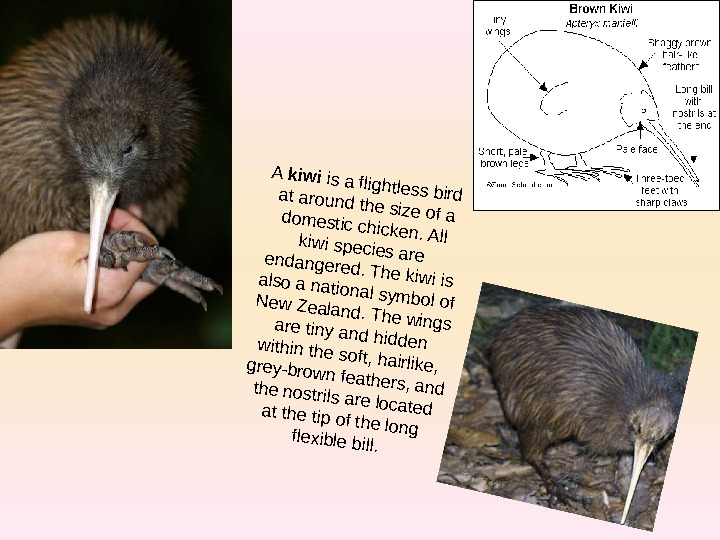 A kiwi is a flightless bird at around the size of a domestic chicken.