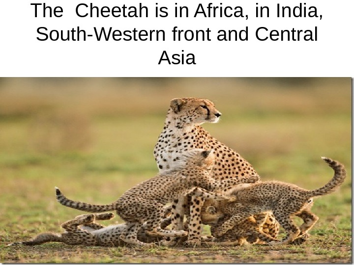 The Cheetah is in Africa, in India,  South-Western front and Central Asia