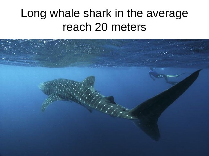 Long whale shark in the average reach 20 meters