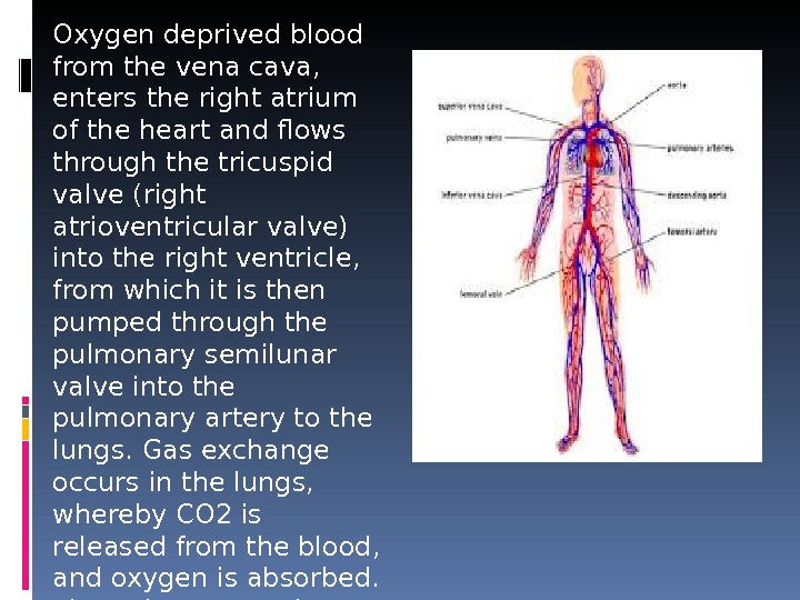 Oxygen deprived blood from the vena cava,  enters the right atrium of the heart and