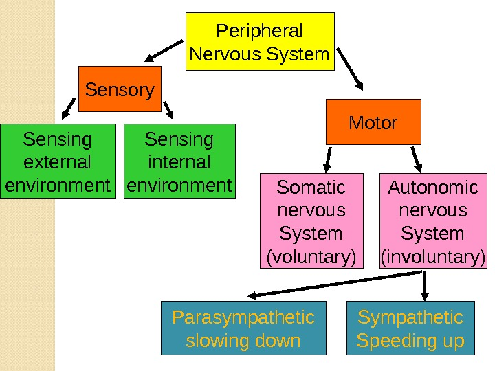 Sensing external environment Peripheral Nervous System Sensory Sensing internal environment Motor Autonomic nervous System (involuntary)Somatic nervous