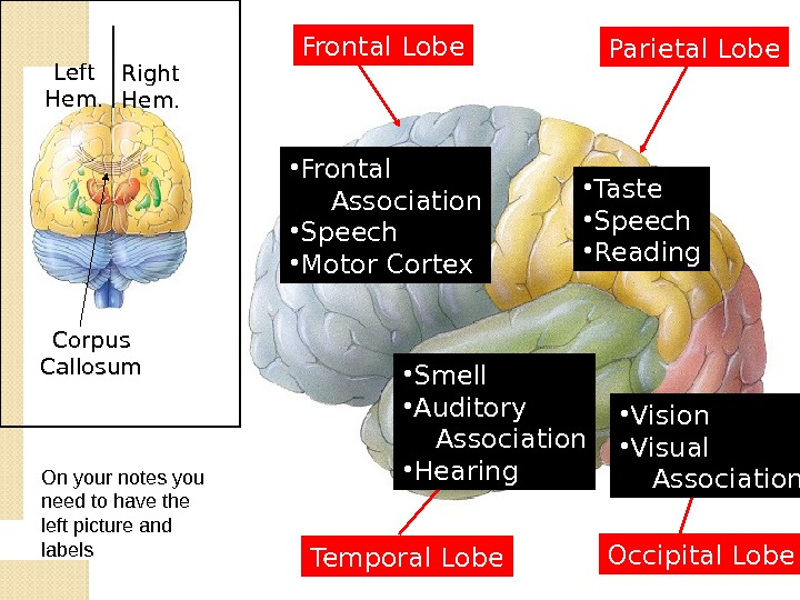 Left Hem. Right Hem. Corpus Callosum Frontal Lobe Parietal Lobe Temporal Lobe Occipital Lobe • Frontal