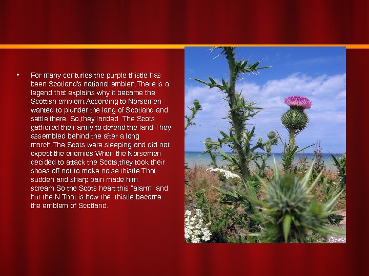 • For many centurles the purple thistle has been Scotland's national emblen. There is a