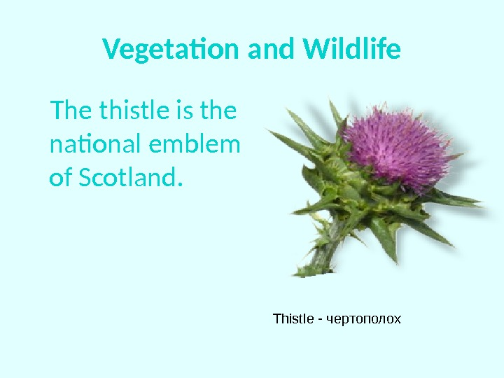 Vegetation and Wildlife The thistle is the national emblem of Scotland. Thistle - чертополох