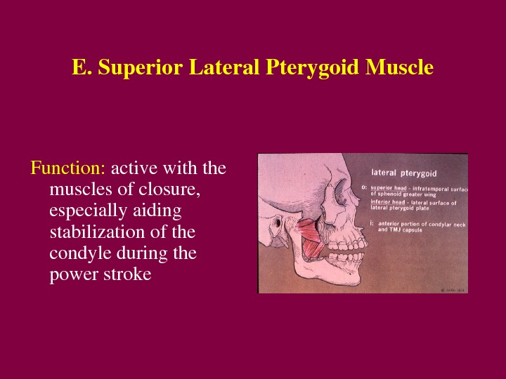 E. Superior. Lateral. Pterygoid. Muscle Function: activewiththe musclesofclosure, especiallyaiding stabilizationofthe condyleduringthe powerstroke