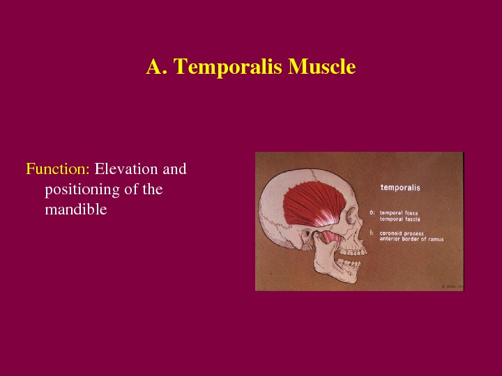 A. Temporalis. Muscle Function: Elevationand positioningofthe mandible