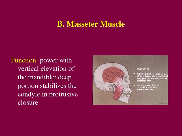 B. Masseter. Muscle Function: powerwith verticalelevationof themandible; deep portionstabilizesthe condyleinprotrusive closure