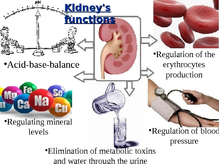 • Regulation of blood pressure • Elimination of metabolic toxins and water through the