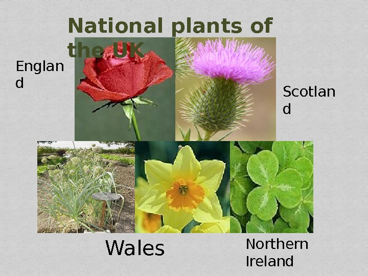 National plants of the UK Englan d Scotlan d Wales Northern Ireland