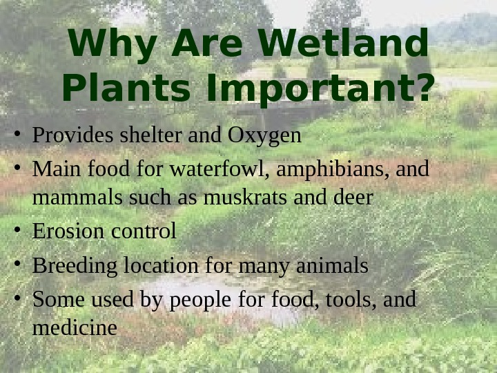 Why Are Wetland Plants Important?  • Provides shelter and Oxygen • Main food for waterfowl,