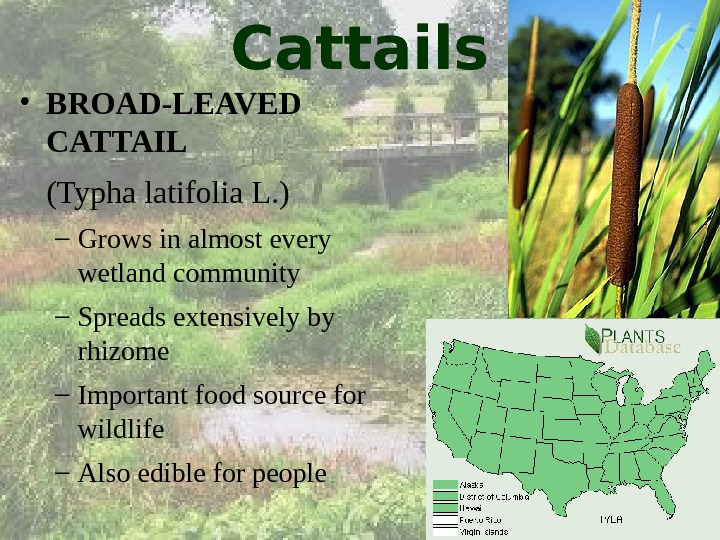 Cattails • BROAD-LEAVED CATTAIL (Typha latifolia L. ) – Grows in almost every wetland community –