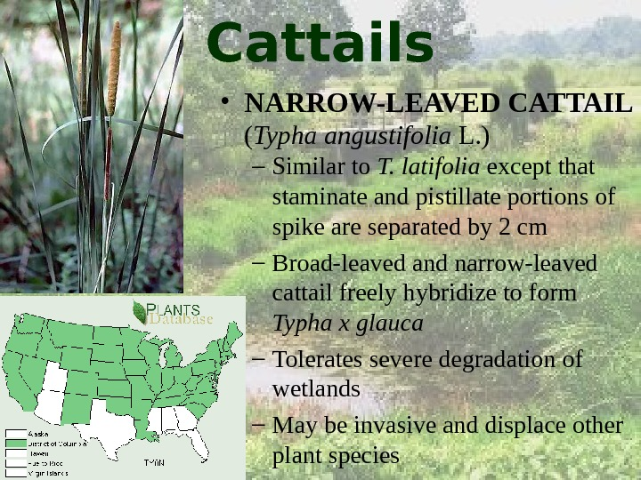 Cattails • NARROW-LEAVED CATTAIL ( Typha angustifolia L. ) – Similar to T. latifolia except that