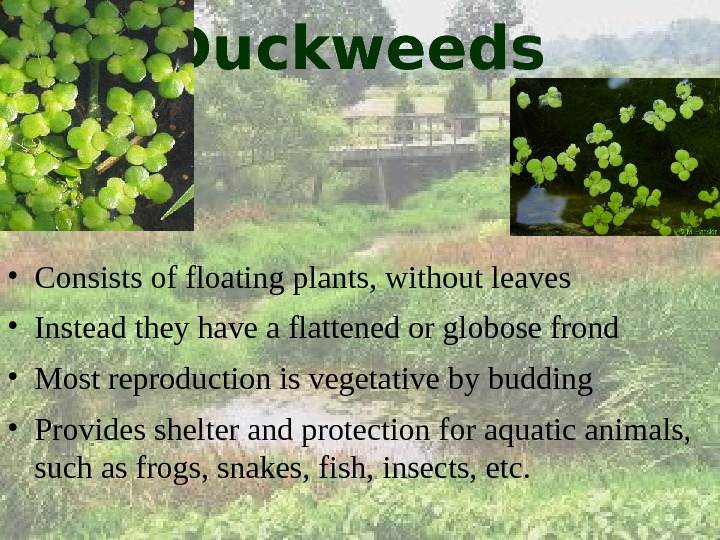 Duckweeds • Consists of floating plants, without leaves • Instead they have a flattened or globose