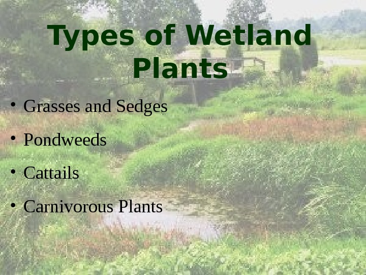 Types of Wetland Plants • Grasses and Sedges • Pondweeds • Cattails • Carnivorous Plants