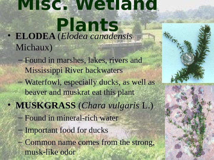 Misc. Wetland Plants • ELODEA ( Elodea canadensis  Michaux) – Found in marshes, lakes, rivers