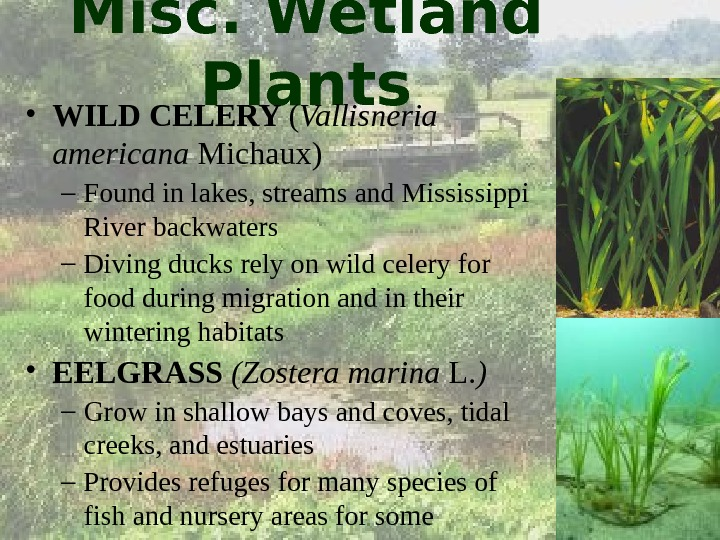 Misc. Wetland Plants • WILD CELERY ( Vallisneria americana Michaux) – Found in lakes, streams and