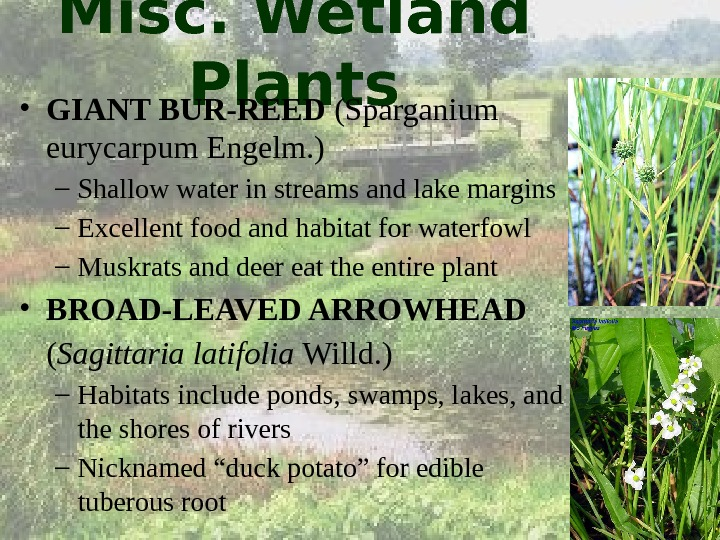 Misc. Wetland Plants • GIANT BUR-REED (Sparganium eurycarpum Engelm. ) – Shallow water in streams and