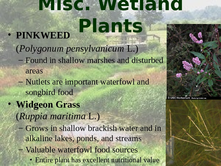 Misc. Wetland Plants • PINKWEED ( Polygonum pensylvanicum L. ) – Found in shallow marshes and