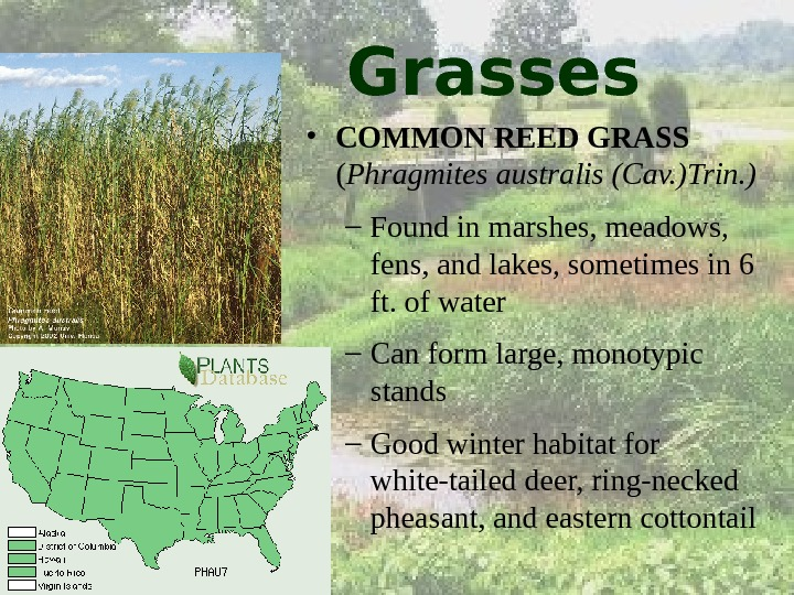 Grasses • COMMON REED GRASS  ( Phragmites australis (Cav. )Trin. ) – Found in