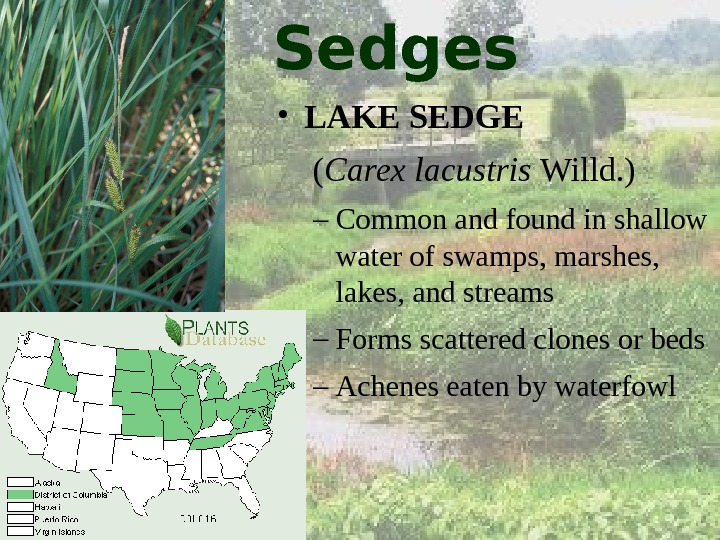 Sedges • LAKE SEDGE  ( Carex lacustris Willd. ) – Common and found in shallow