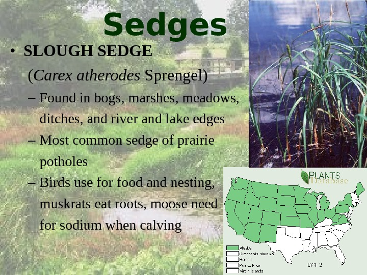 Sedges • SLOUGH SEDGE  ( Carex atherodes Sprengel) – Found in bogs, marshes, meadows, ditches,