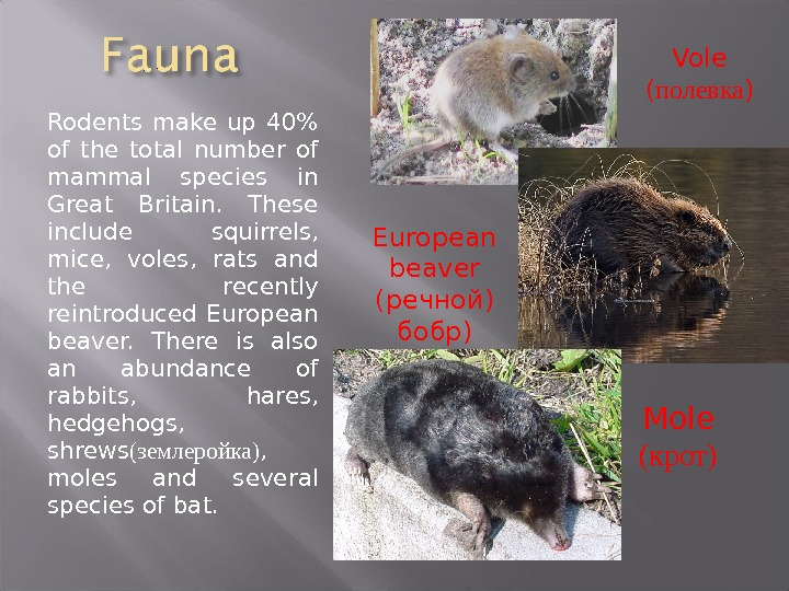 Rodents make up 40 of the total number of mammal species in Great Britain.  These