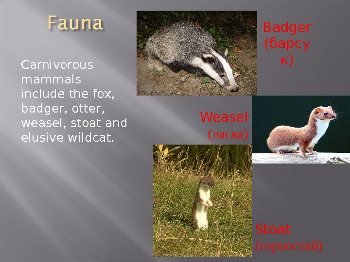 Carnivorous mammals include the fox,  badger, otter,  weasel, stoat and elusive wildcat. Badger (