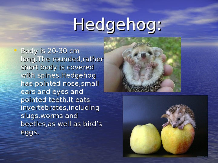 Hedgehog:  • Body is 20 -30 cm long. The