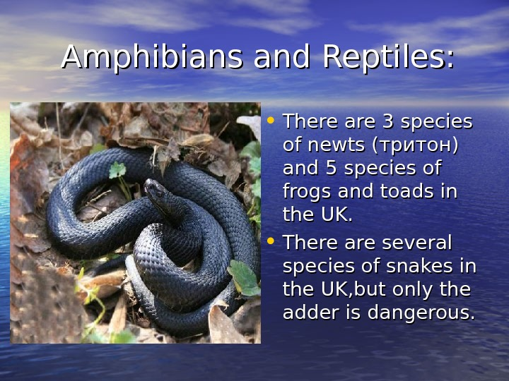 Amphibians and Reptiles:  • There are 3 species of newts ( тритон)