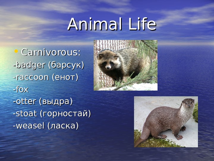 Animal Life • Carnivorous: -badger (барсук) -raccoon (енот) -fox -otter (выдра)