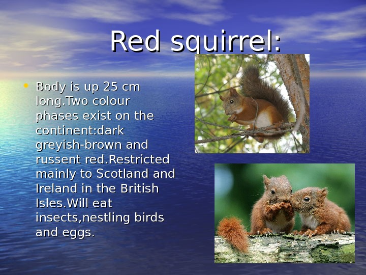Red squirrel:  • Body is up 25 cm long. Two colour