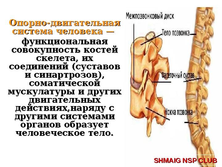 кости тела человека соединены суставами
