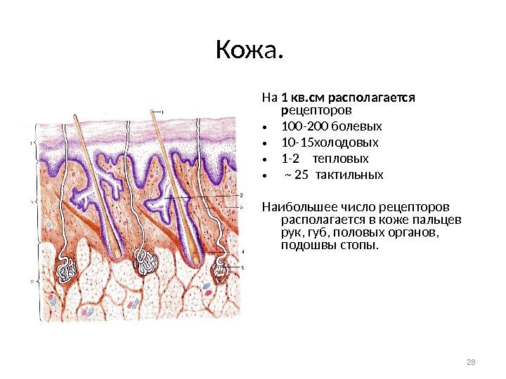 где больше всего рецепторов на коже любой