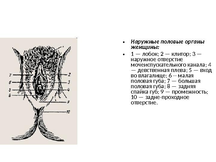 Схема расположения клитора у женщины информация