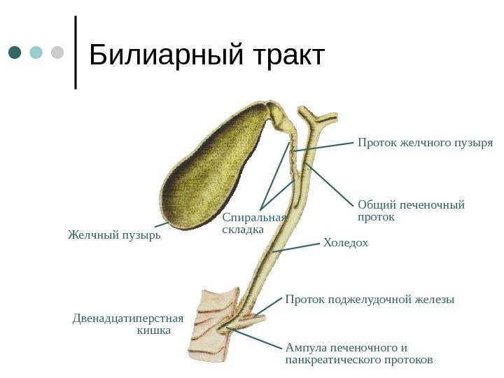билиарный тракт схема