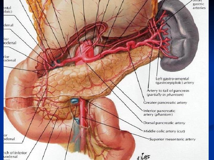 Abdominal anatomy organs