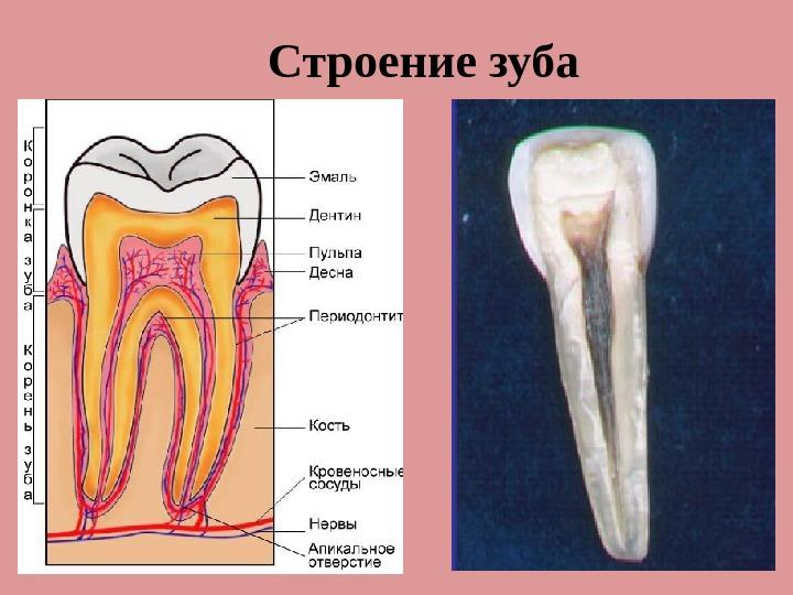 Апикальная часть зуба это 137