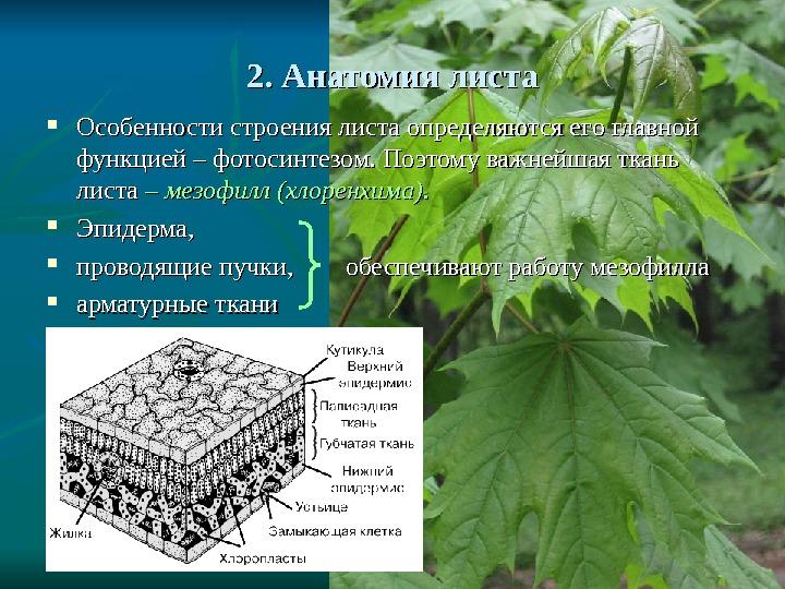 Leaf anatomy worksheet