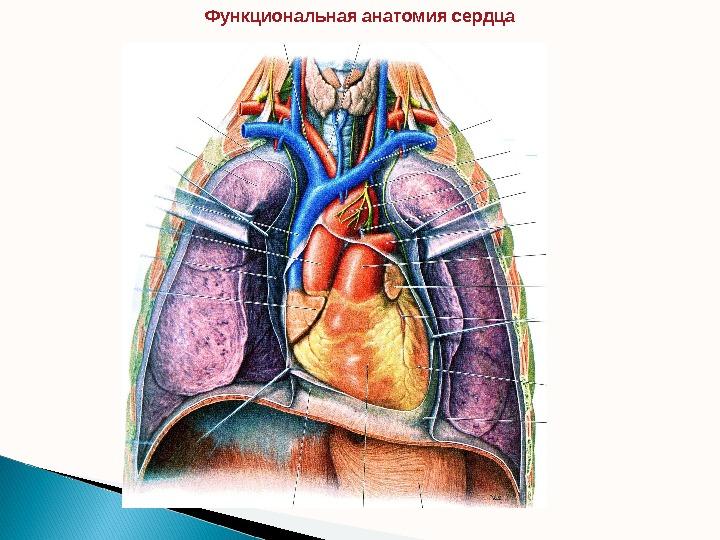 торнов а г анатомия жизненной силы