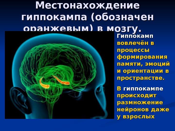Brain memory hippocampus