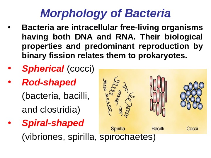 bacteria morphology Bacterial morphology study guide by berbelyze_vega includes 99 questions covering vocabulary, terms and more quizlet flashcards, activities and games help you improve your grades.
