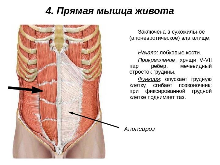 vnutrennie-mishtsi-vlagalisha