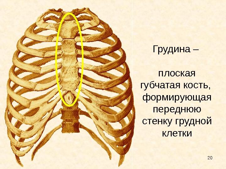 Схема строения грудины человека