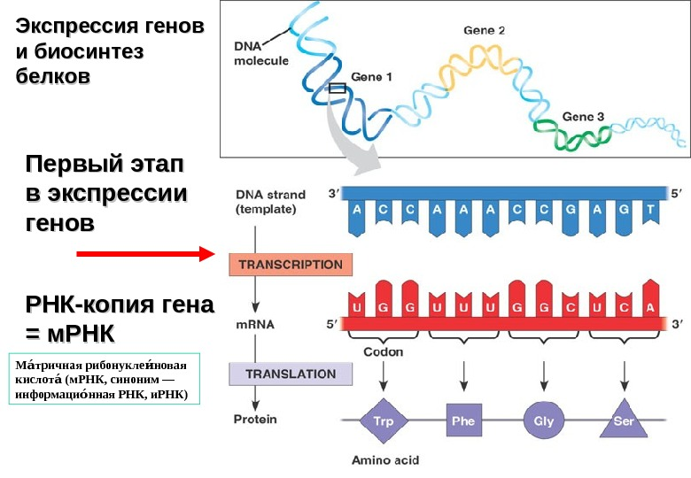 what is the significance of the first and last codons of an mrna transcript