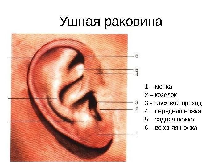 Уши что и где находится