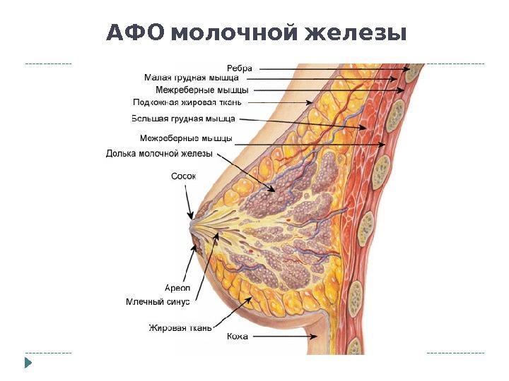Mammary glands anatomy